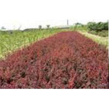 紅葉小檗.jpg